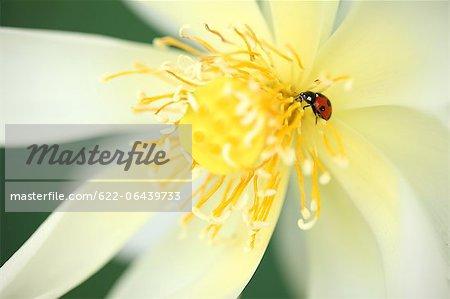 Close up of Lotus flower and Ladybug