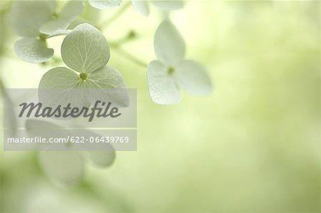 Close up of Hydrangea flowers