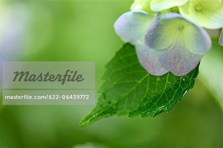 Close up of Hydrangea flower