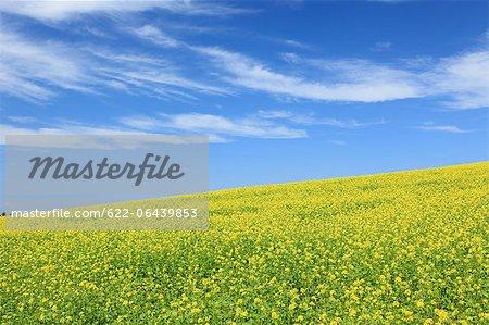 Mustard Greens and blue sky with clouds, Hokkaido