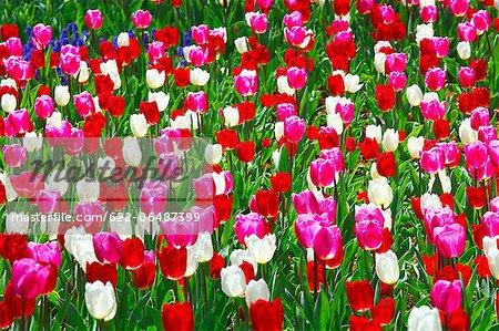 Tulip flowers, Ibaraki Prefecture