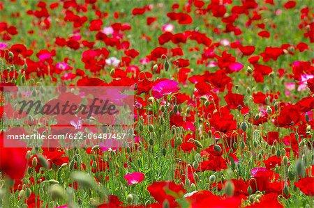 Poppy flowers, Tokyo Prefecture