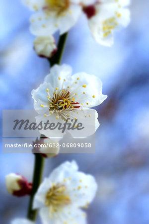 White plum blossoms, Osaka Prefecture