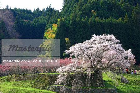 Cherry and peach blossoms in Matabe, Nara Prefecture