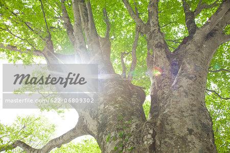 Big beech tree