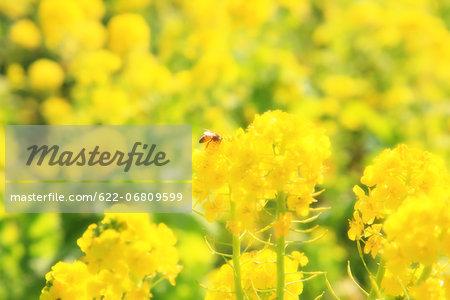 Bee in rapeseed field