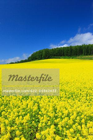 Field mustard and sky with clouds, Hokkaido