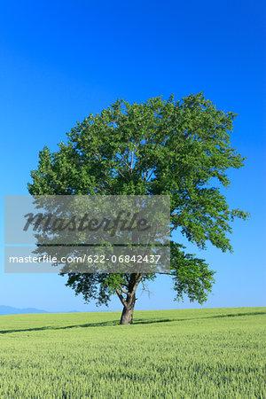 The philosophy tree in Biei, Hokkaido