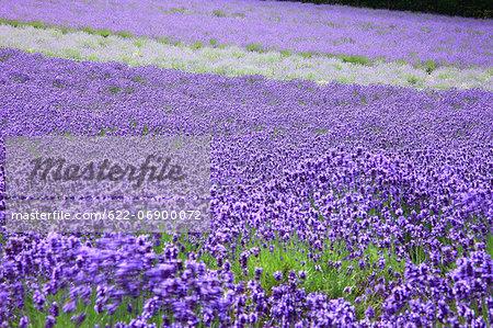Lavender field, Hokkaido