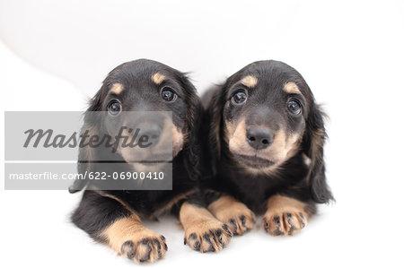 Miniature Dachshund Pets Stock Photo Masterfile Premium