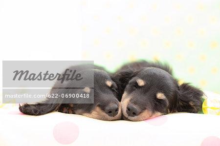 Miniature Dachshund pets