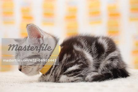 Munchkin - Stock Photo - Masterfile - Premium Royalty-Free, Code ...