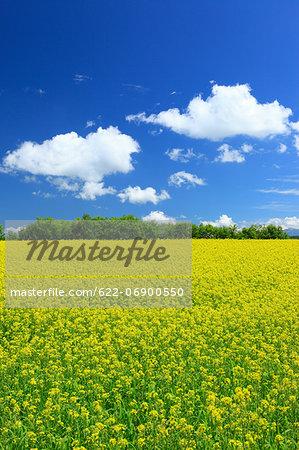 Mustard greens field and blue sky with clouds, Hokkaido