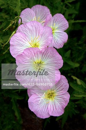 Pink evening primrose flowers