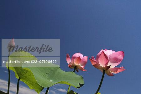 Lotus flowers and sky