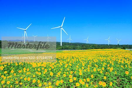 Sunflower field and wind turbines, Fukushima Prefecture