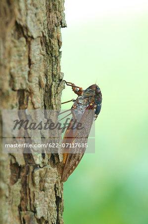 Cicada on a tree