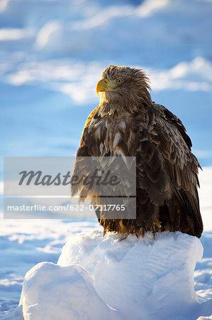Steller sea eagle on snow, Hokkaido