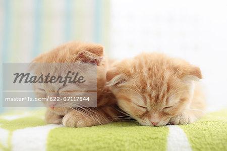Scottish Fold pets