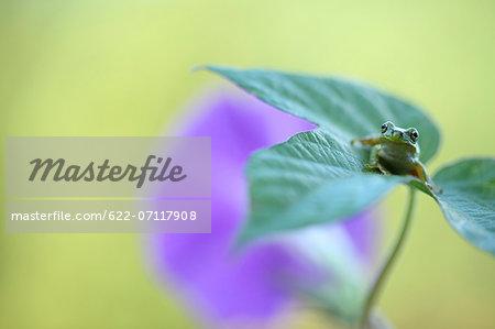 Frog on morning glory leaf