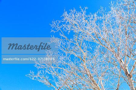 Rimed Betula trees and sky, Nagano Prefecture