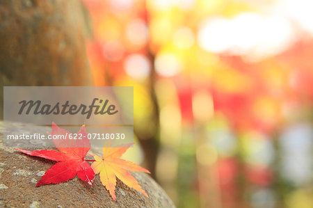 Maple leaves on a rock, Shizuoka Prefecture