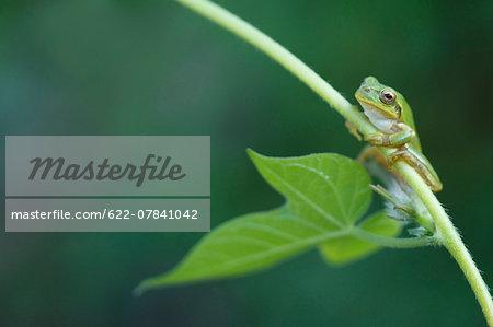 Japanese Tree Frog