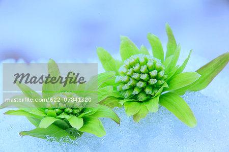 Butterbur Sprouts