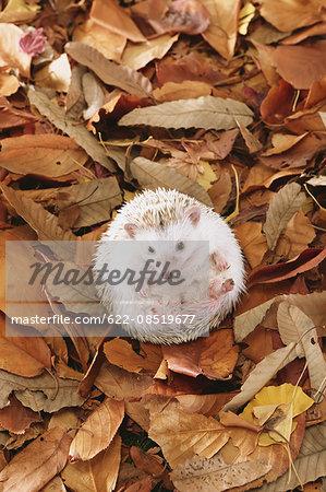 Hedgehog on fallen leaves