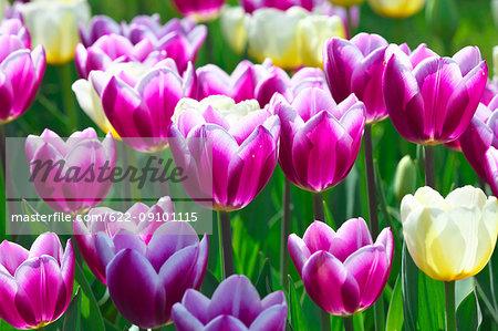 Tulip field, Japan