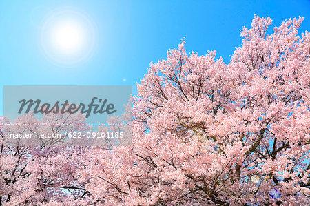 Cherry blossoms in full bloom, Japan