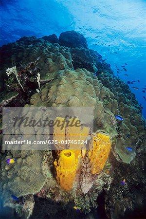 High angle view of Branching Tube Sponge (Pseudoceratina crassa) underwater, Cayman Islands