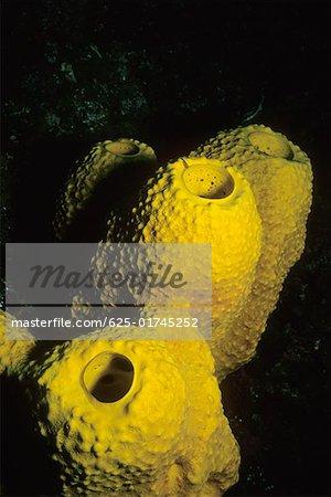 Close-up of Branching Tube Sponge (Pseudoceratina crassa) underwater, Cayman Islands, West Indies