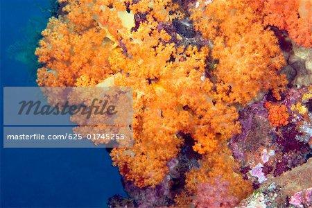 Close-up of Orange Soft Coral underwater, North Sulawesi, Indonesia