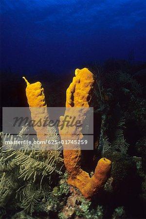 Close-up of Yellow Tube Sponge (Aplysina Fistularis) underwater, Cayman Islands, West Indies