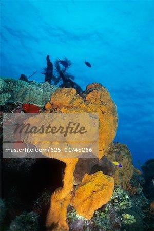 Orange Elephant Ear Sponge underwater (Agelas clathrodes), Cayman Islands, West Indies