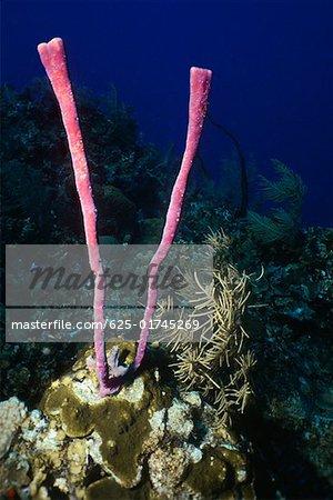 Close-up of Row Pore Rope Sponge (Aplysina Cauliformis) underwater Cayman Islands, West Indies
