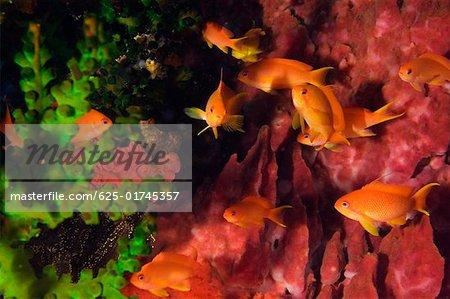 Lyre-Tail Anthias fish (Pseudanthias squamipinnis) underwater, North Sulawesi, Sulawesi, Indonesia