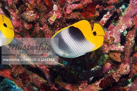 Two Saddleback butterflyfish (Chaetodon ephippium) swimming underwater, Papua New Guinea