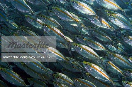 School of Yellow jacks (Carangoides bartholomaei) swimming underwater, Papua New Guinea