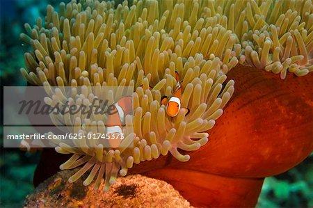 Two Spine Cheek anemone fish (Premnas biaculeatus) swimming underwater, Papua New Guinea