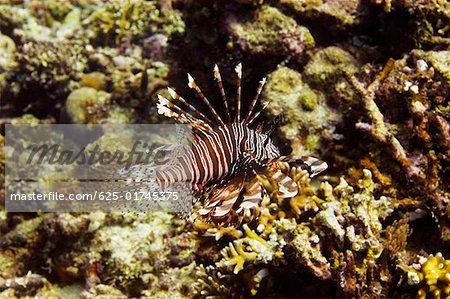 Longspine lionfish swimming underwater, North Sulawesi, Sulawesi, Indonesia