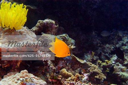 Herald's angelfish (Centropyge heraldi) swimming underwater, North Sulawesi, Sulawesi, Indonesia