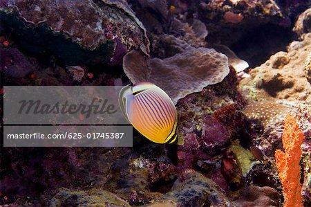 Redfin butterflyfish (Chaetodon lunulatus) swimming underwater, North Sulawesi, Sulawesi, Indonesia