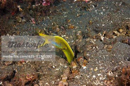 Yellow Ribbon eel (Rhinomuraena quaesita) underwater, North Sulawesi, Sulawesi, Indonesia