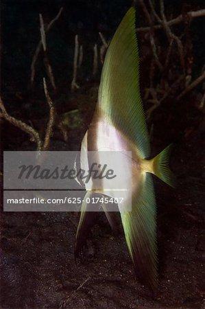 Longfin Spadefish (Platax teira) swimming underwater, North Sulawesi, Sulawesi, Indonesia