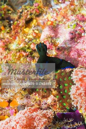 Nudibranch swimming underwater, North Sulawesi, Sulawesi, Indonesia