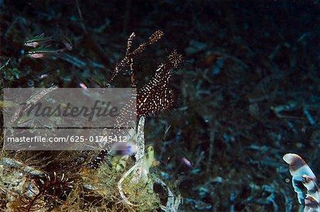 Ornate Ghost Pipefishes (Solenostomus paradoxus) swimming underwater, Papua New Guinea