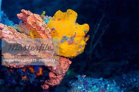 Yellow Frogfish on a Yellow Sponge underwater, North Sulawesi Sulawesi, Indonesia
