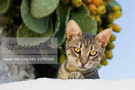 Close-up of a cat, Mykonos, Cyclades Islands, Greece
